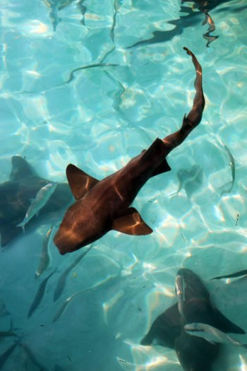 Swim with Nurse Sharks at Compass Cay