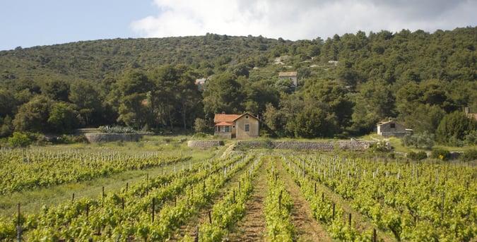 Vineyard on Hvar