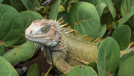 Iguana in Virgin Islands